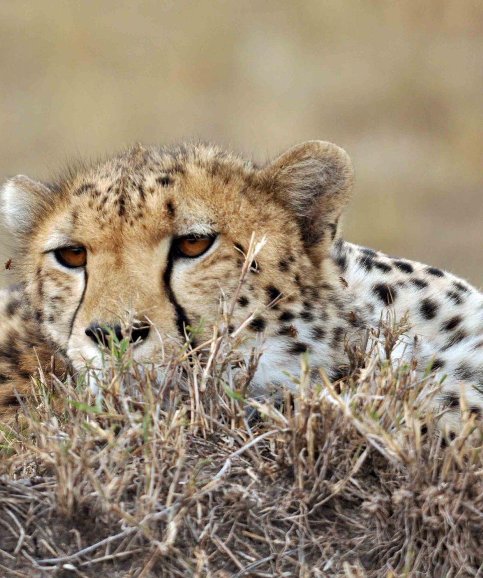 cheeta Masai Mara © All for Nature Travel