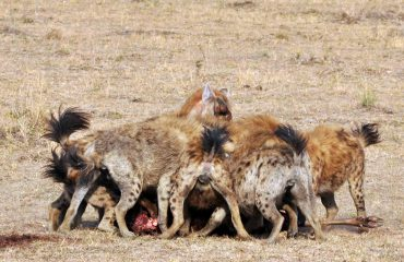 Gevlekte hyena's bij een kill © All for Nature Travel