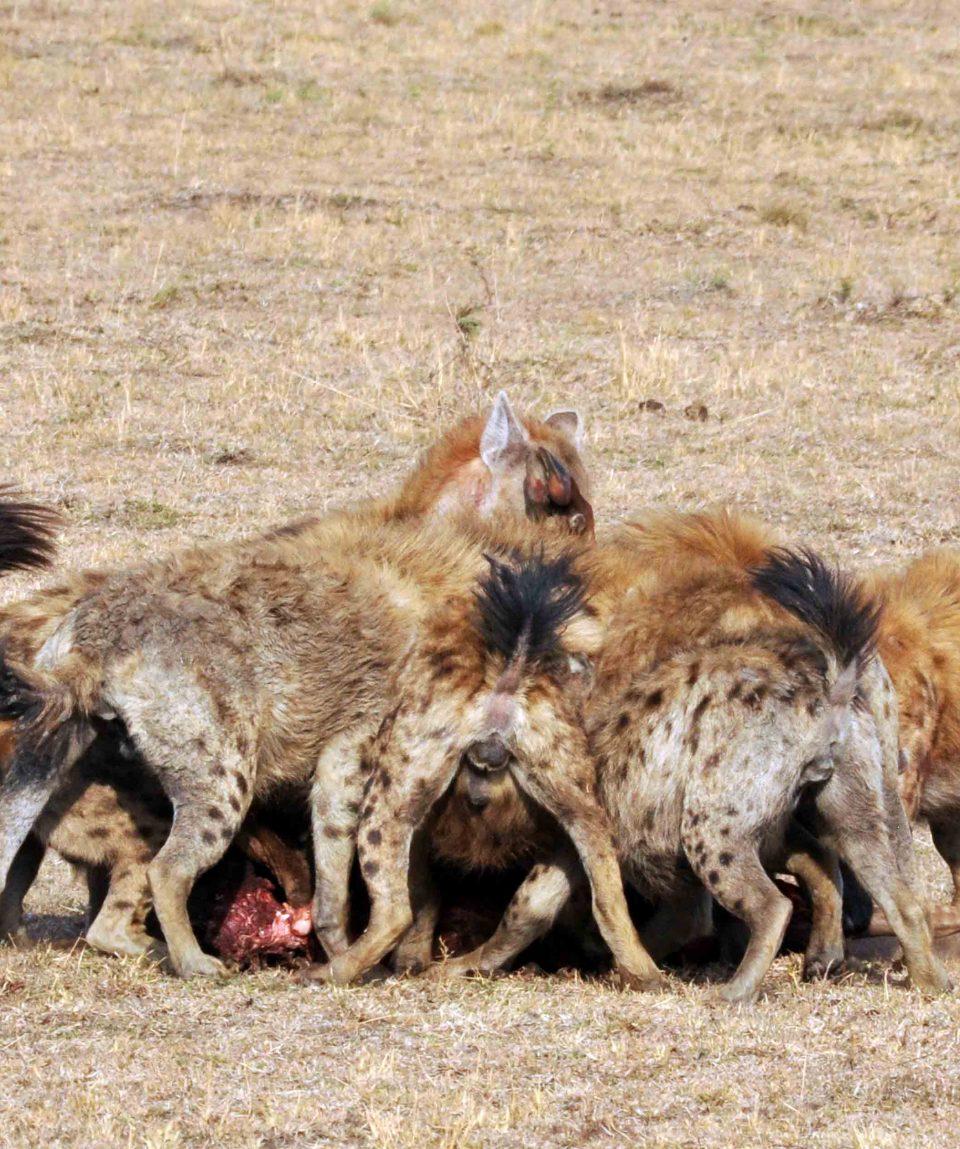 Gevlekte hyena's bij een kill © All for Nature Travel