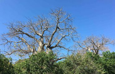 Baobab Mafia Island