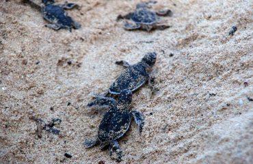 zeeschildpadden uit het ei