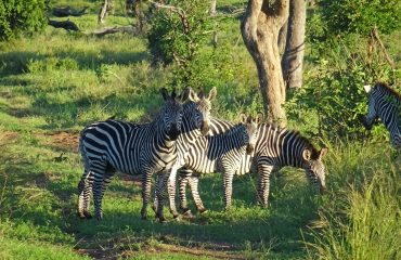 zebra's Lower Zambezi © All for Nature Travel