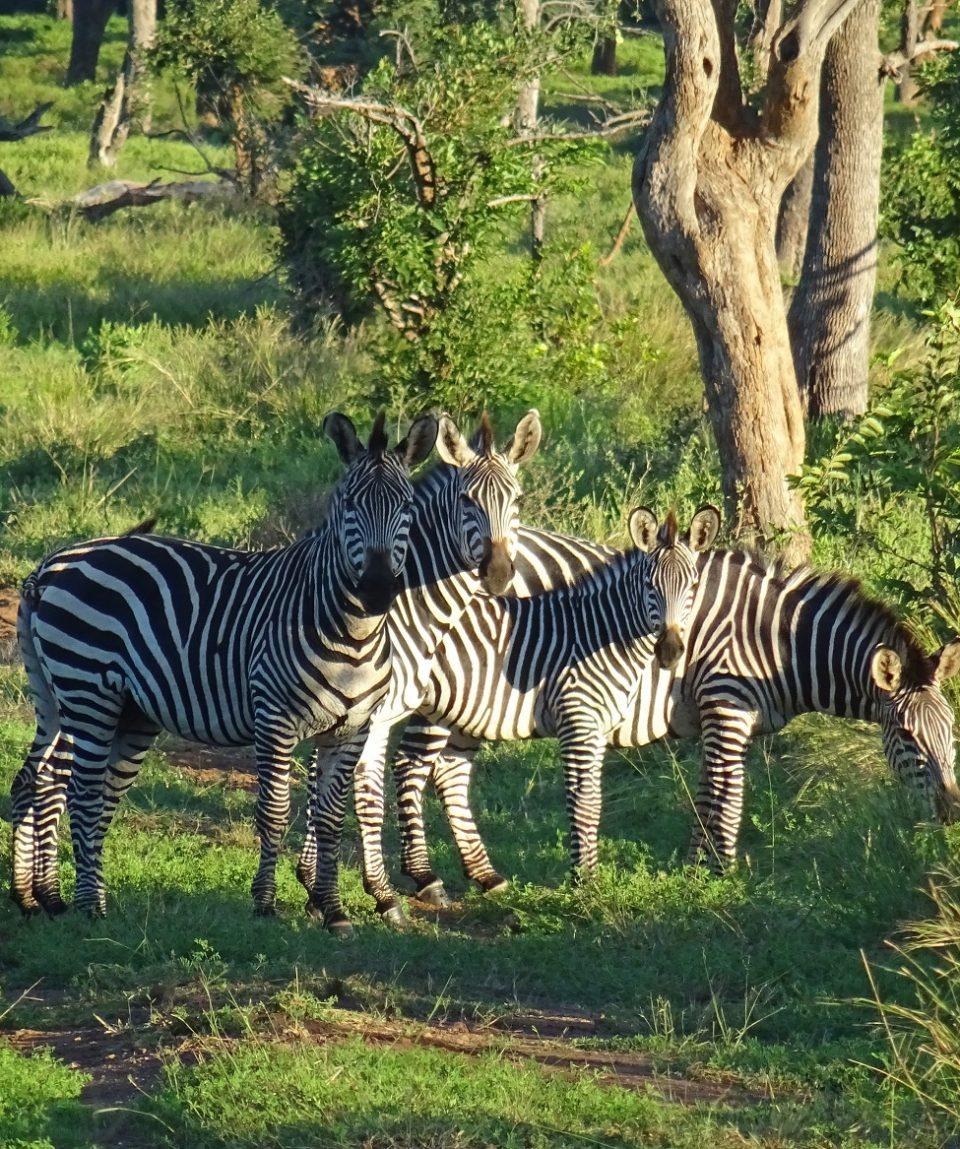 zebra's Lower Zambezi © All for Nature Travel