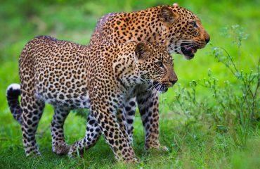 luipaard South Luangwa