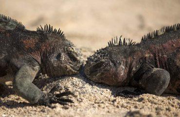 Marine iguana ©Yolanda-Escobar-Jiménez