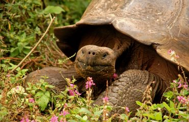 Galapagos reuzenschildpad ©All for Nature Travel