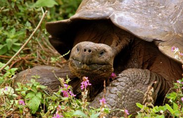reuzenschildpad Galapagos ©All for Nature