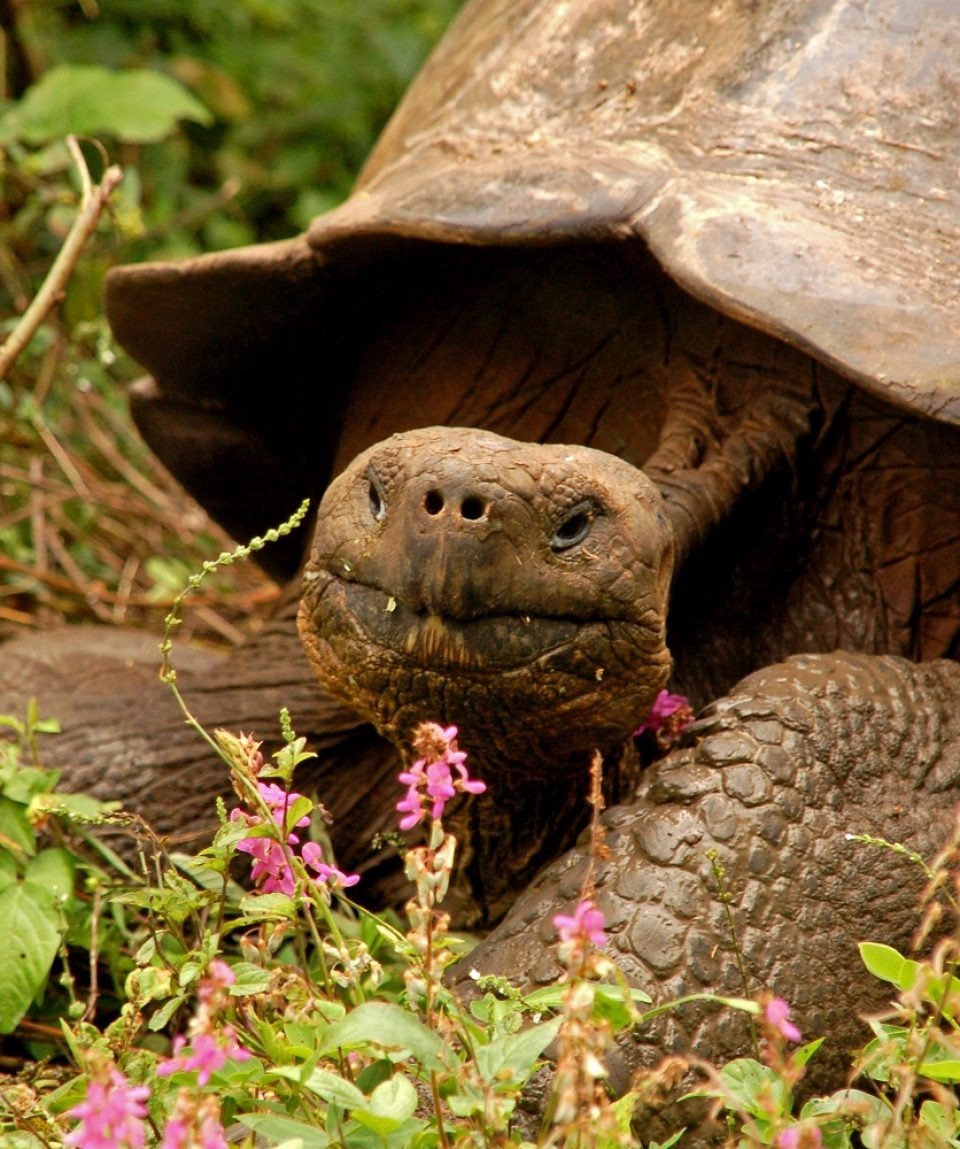 reuzenschildpad Galapagos © All for Nature Travel