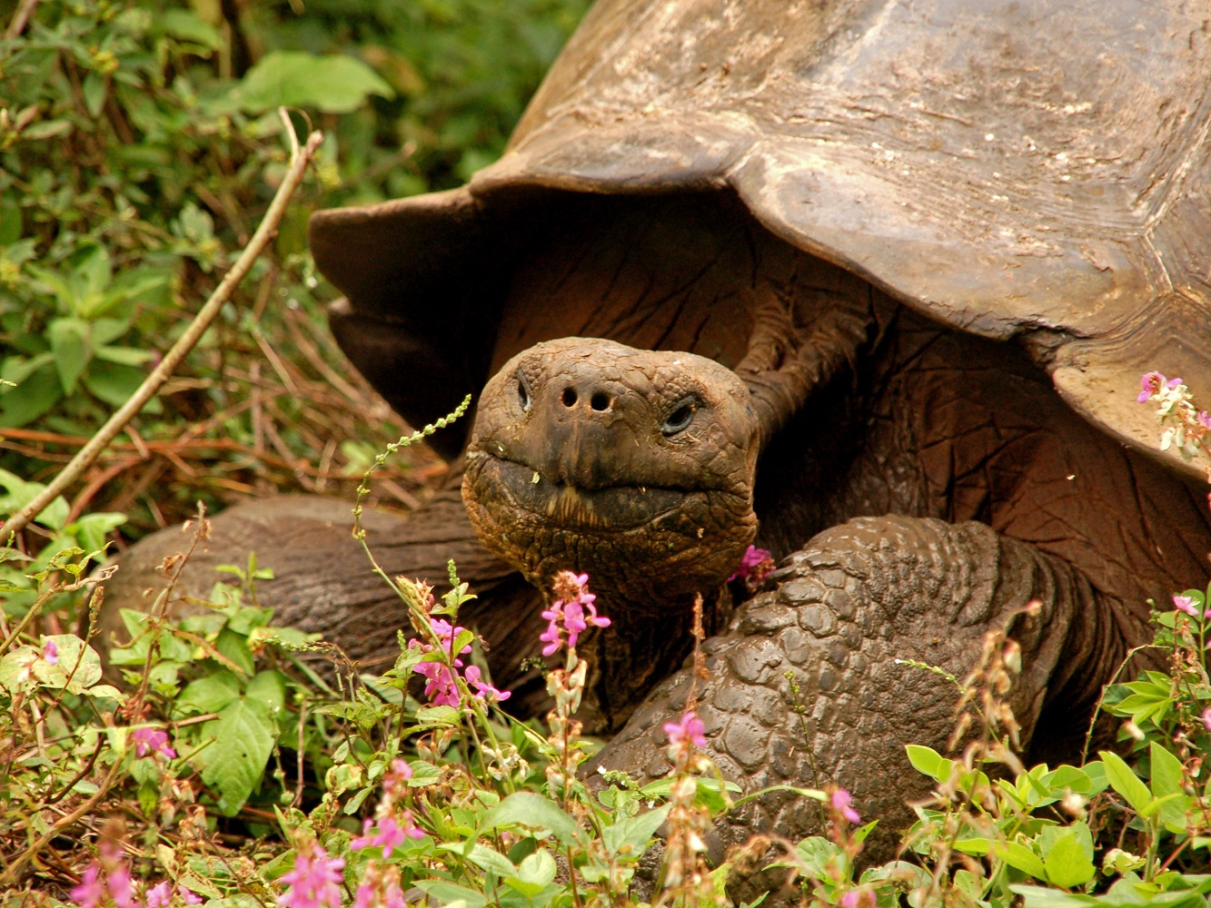 reuzenschildpad Galapagos © All for Nature Trave
