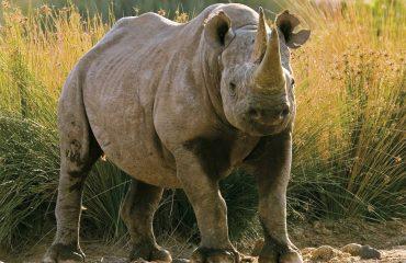 Zwarte neushoorn Namibië © Mike Myers