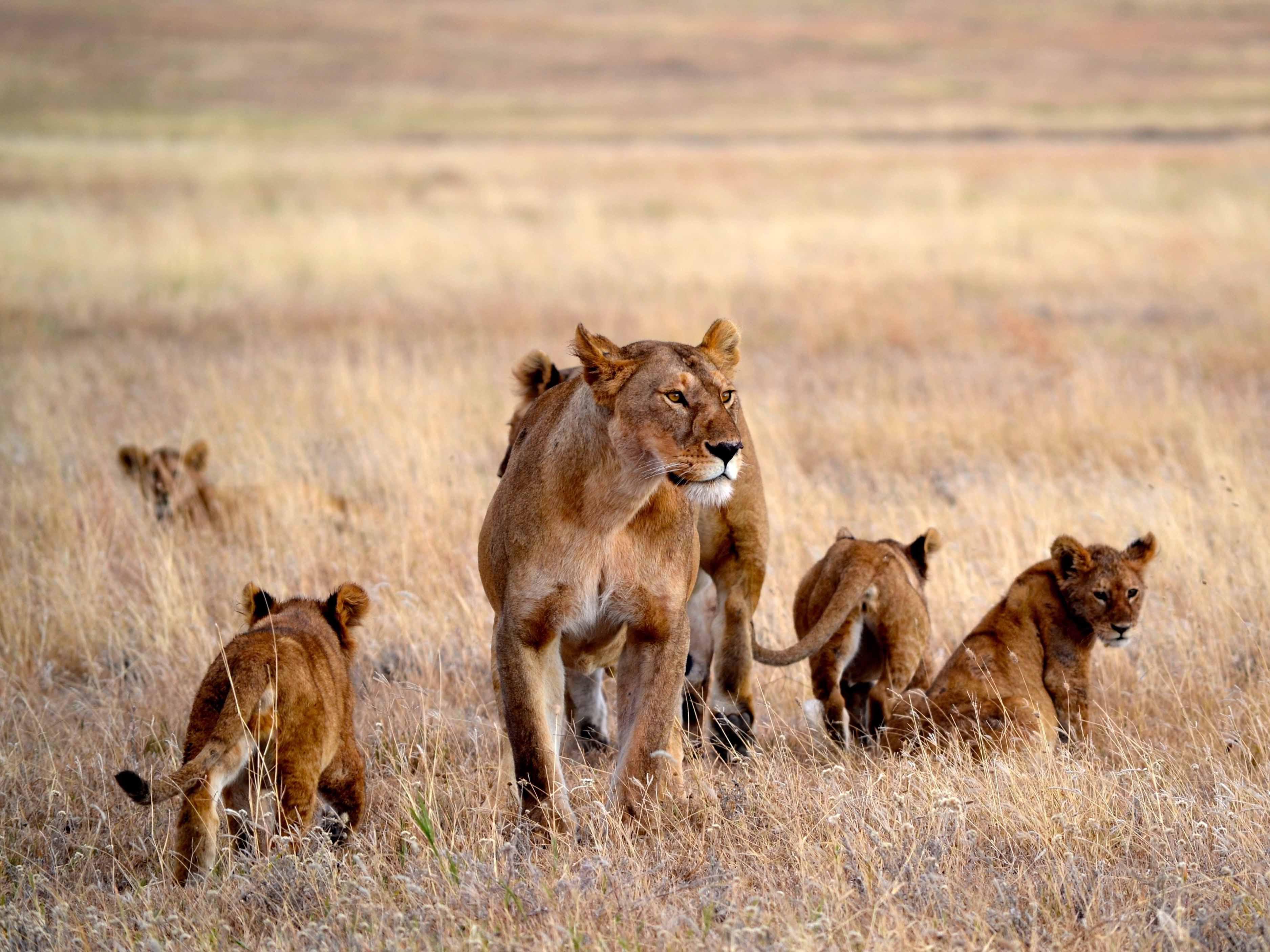 leeuw Serengeti, safari Serengeti