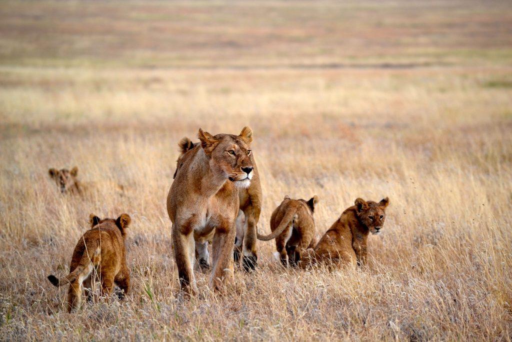 leeuw, Namiri Plains, Serengeti