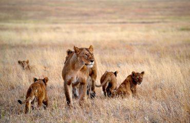 Leeuwen Namiri Plains Serengeti ©Allan Earnshaw