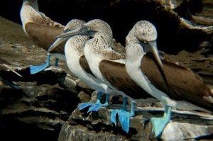 Blauwvoetgenten, galapagos, blue footed booby