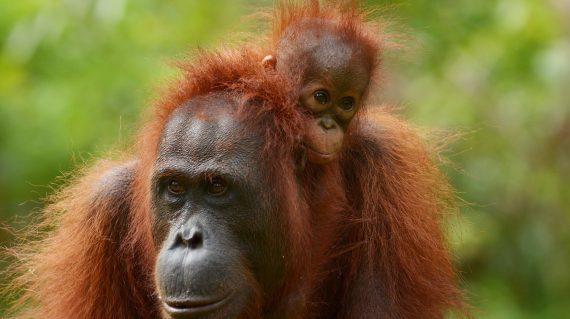 C.ID. baby orang-oetan Ketty © Orangutan Foundation