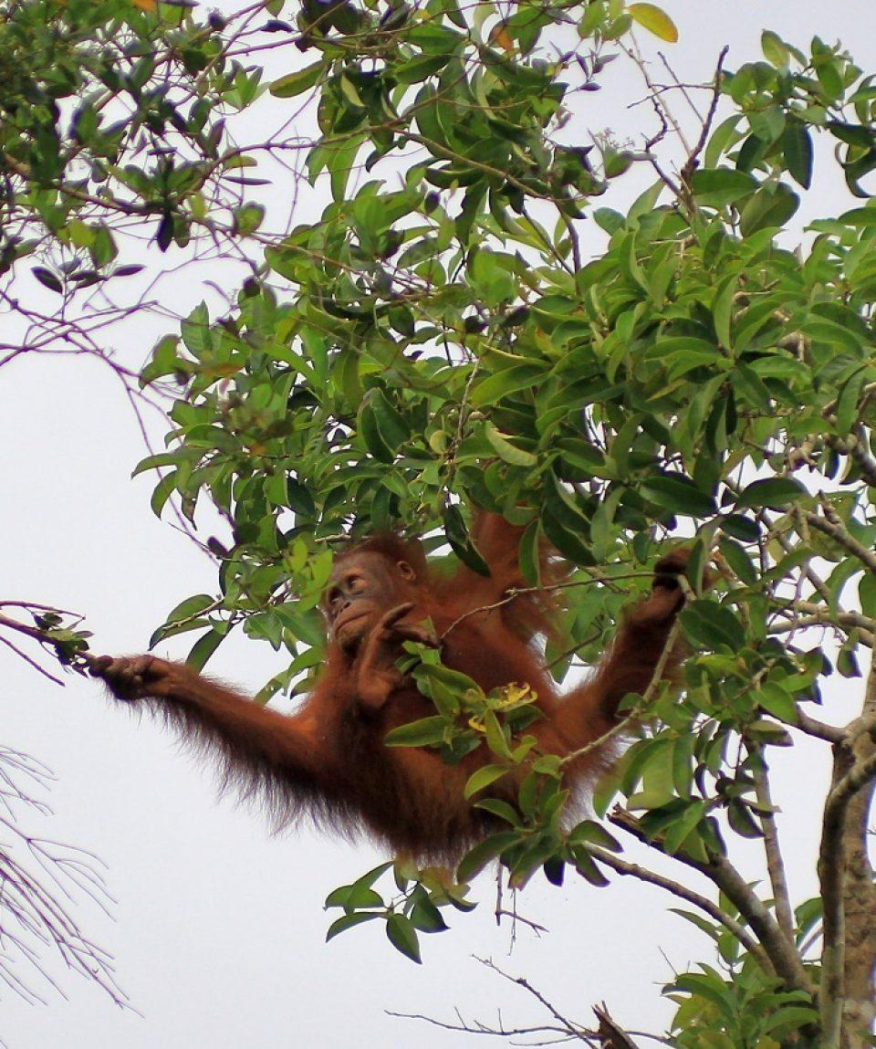 C.ID. wilde orang-oetan © Orangutan Foundation
