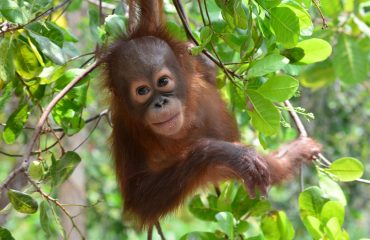 C.ID. jonge orang-oetan in rehabilitatie ©Orangutan Foundation