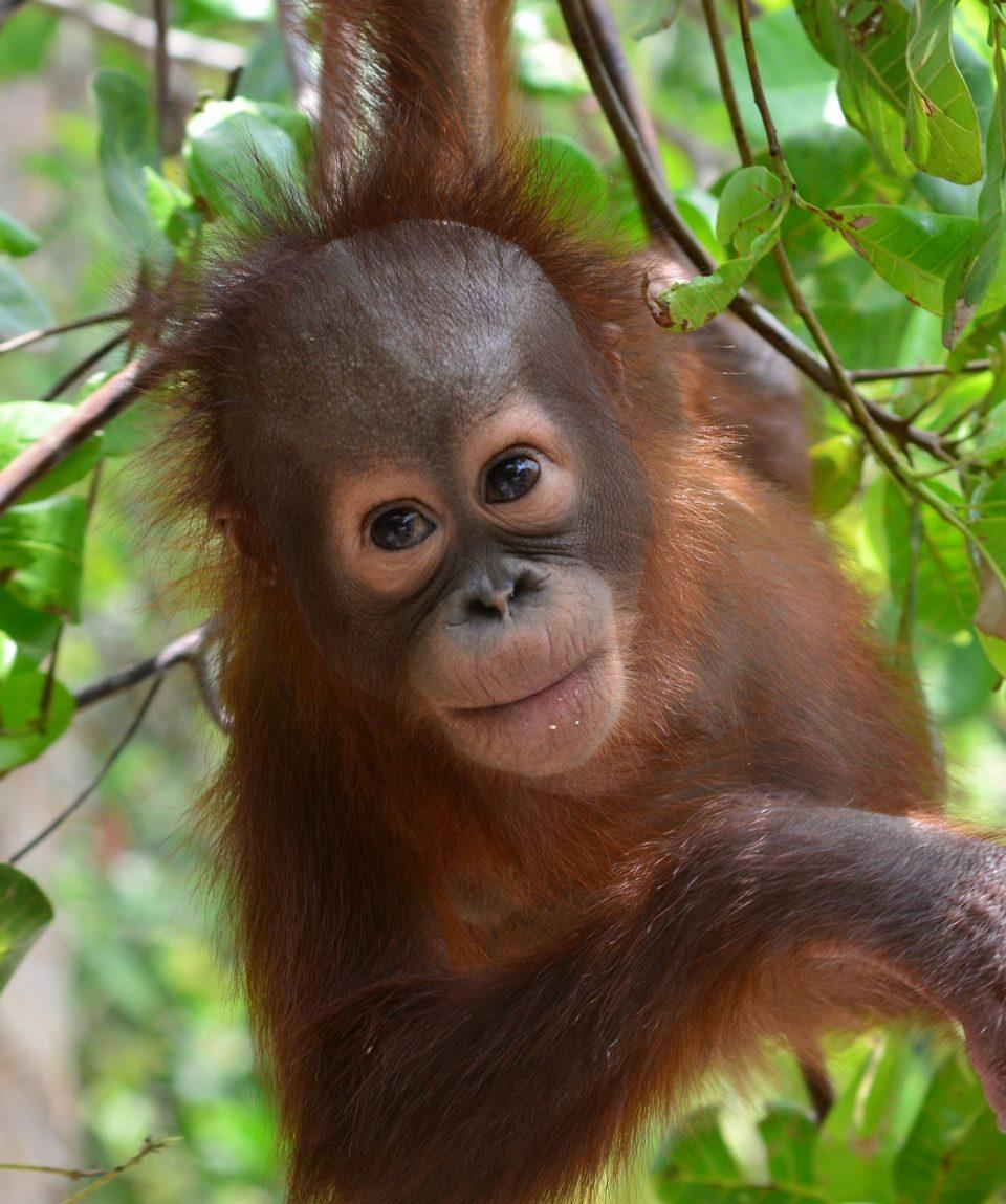 C.ID.Young orangutan in soft release programme in Lamandau, Indonesian Borneo ©Orangutan Foundation