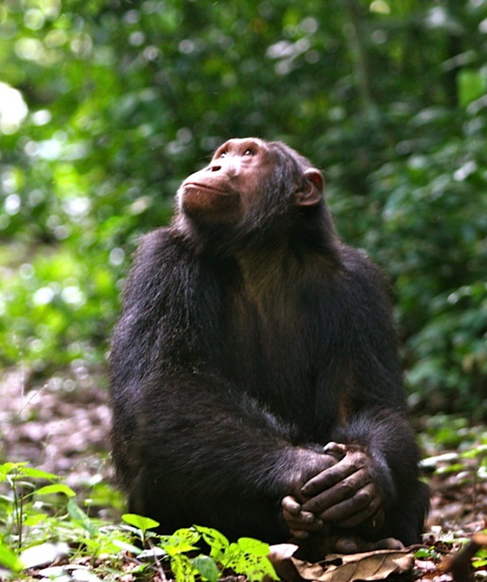 Chimpansee Kyambura Gorge met dank aan Volcanoes Safaris