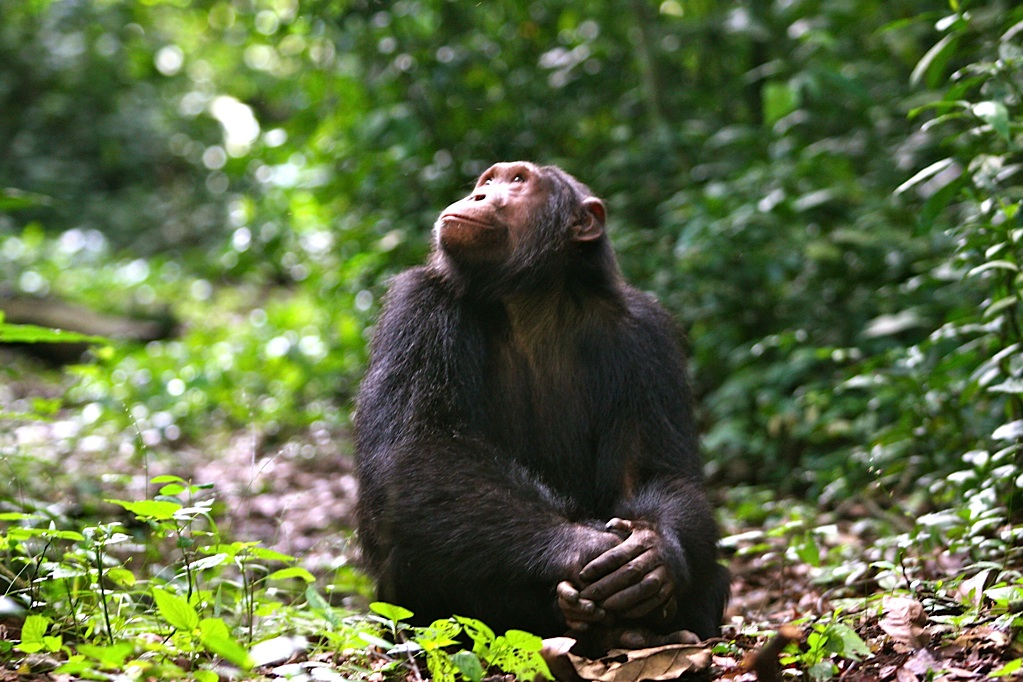 Chimpanzee, Volcanoes Safaris