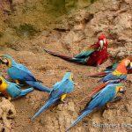 ara, claylick, tambopata, rainforest expeditions