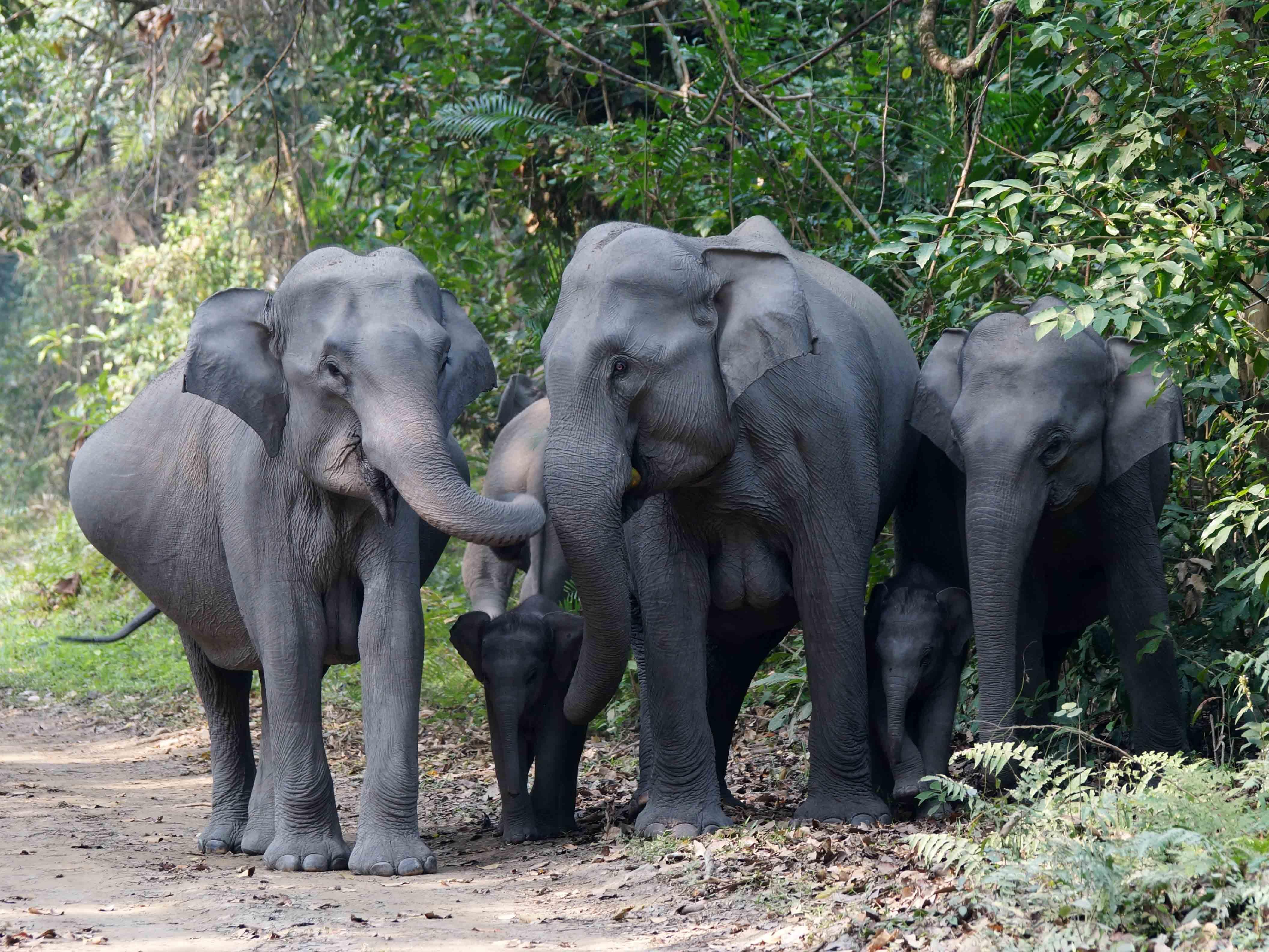 Olifant, Aziatische olifant, Kaziranga, India