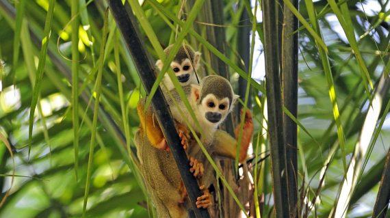 Doodshoofdaapje Napo Wildlife Center