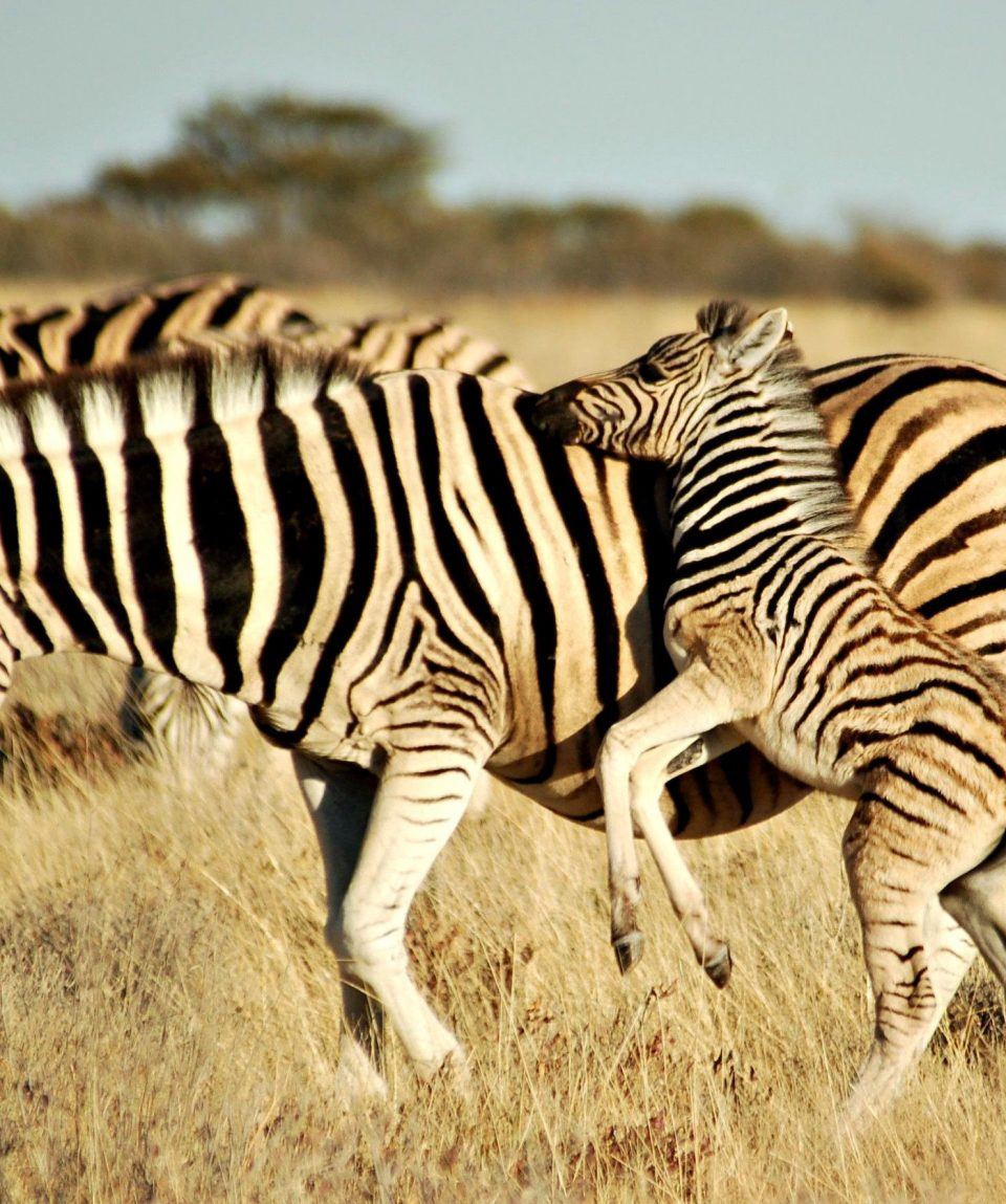 Etosha zebra © All for Nature Travel