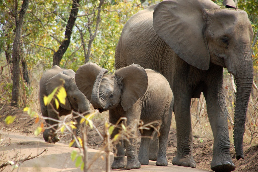 olifant, Majete NP, Malawi