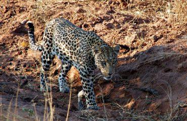 Gezenderde luipaard bij AfriCat © All for Nature Travel