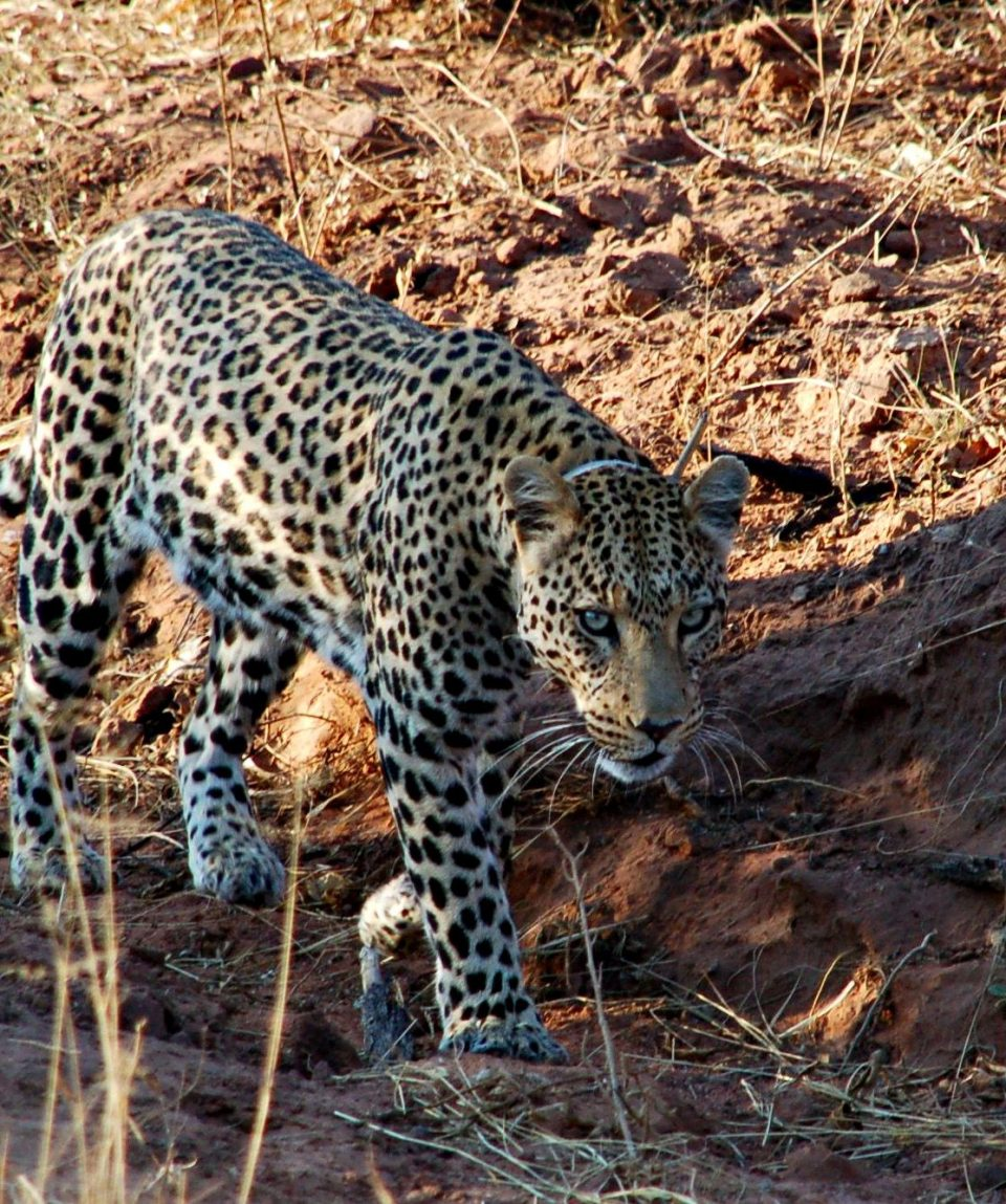 Gezenderde luipaard bij AfriCat © All for Nature Travel