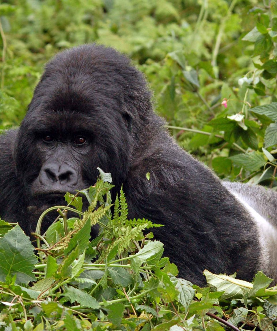Silverback © All for Nature Travel