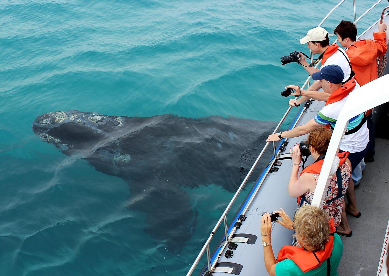 walvis, Zuidkaper, Dyer Island Cruises, Marine Dynamics