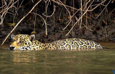 Jaguar Pantanal ©Nick Garbutt