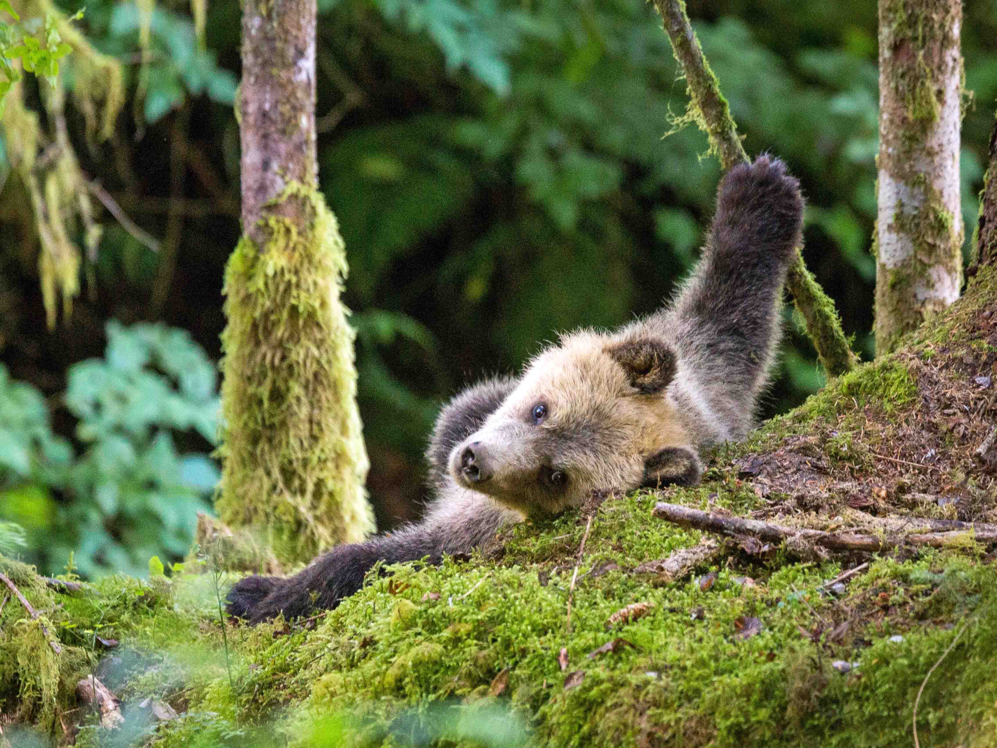 Grizzly Knight Inlet relaxing