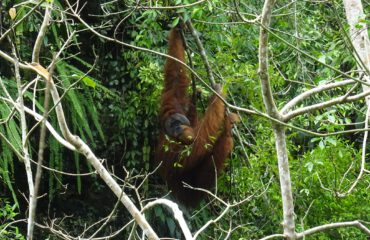 Gunung Leuser orangoetan © All for Nature Travel