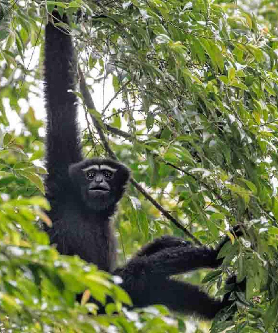 Hoolock Gibbon | Kaziranga