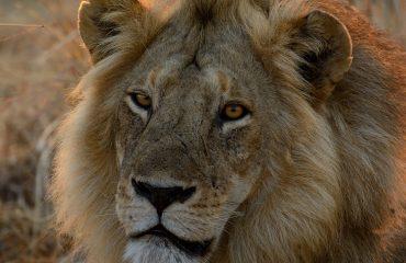 Leeuw Ruaha National Park, Tanzania