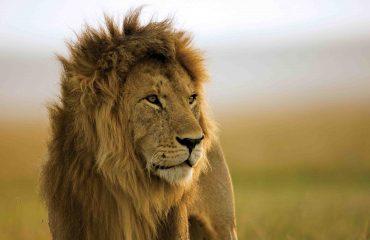 Leeuw Mara Naboisho