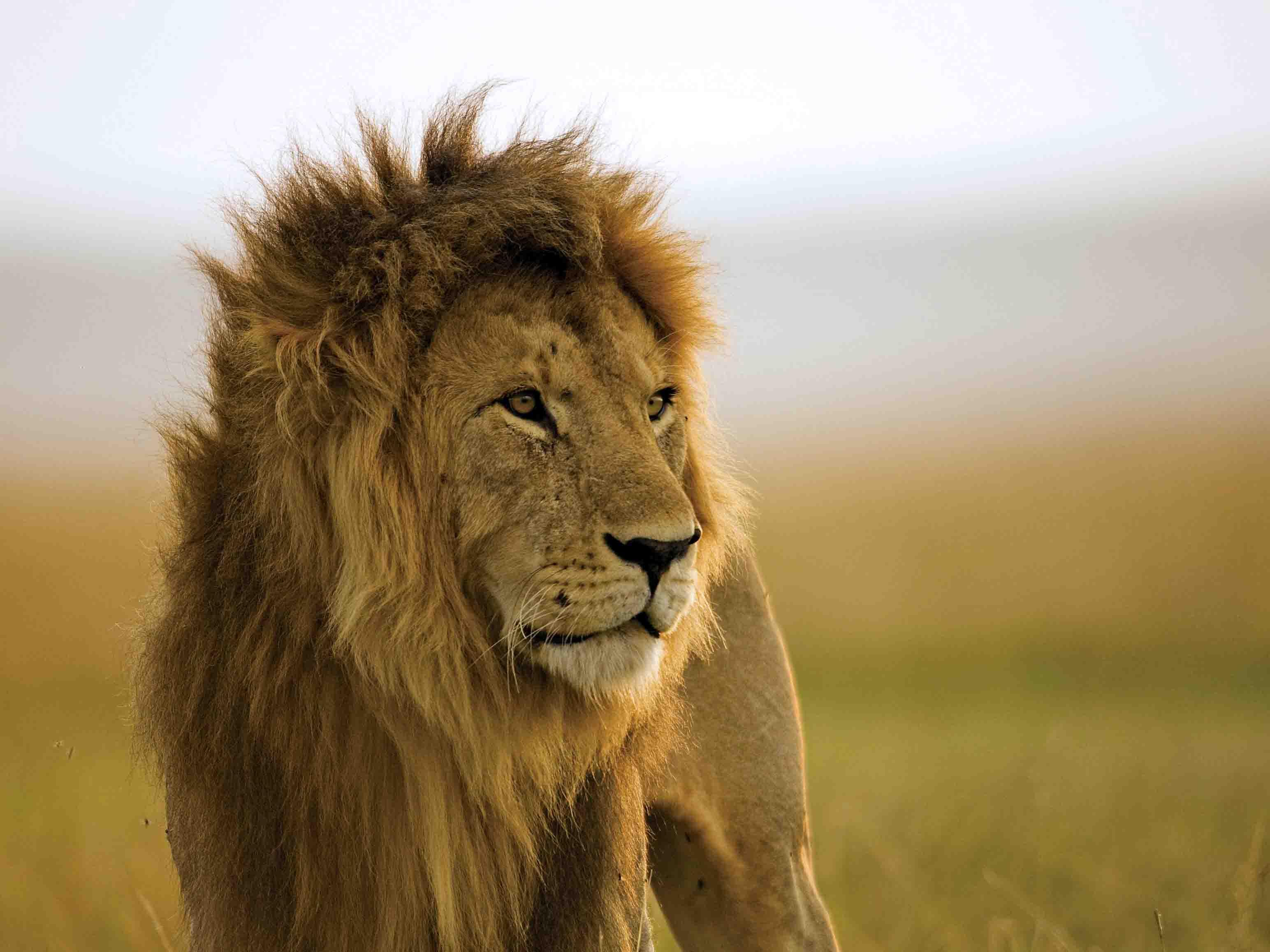 Leeuw Mara Naboisho, leeuw Kenia