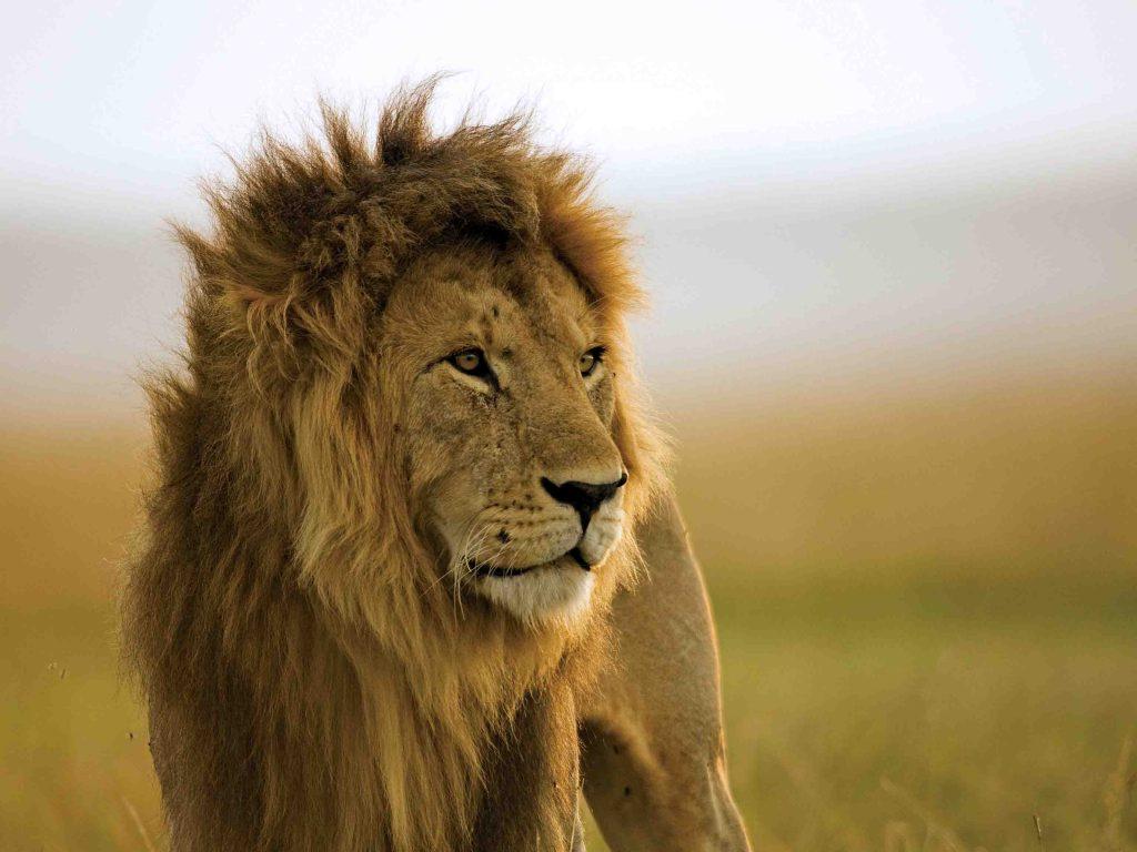 leeuw, eagle view, masai mara, naboisho
