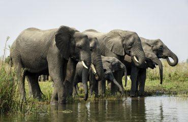 Liwonde olifanten