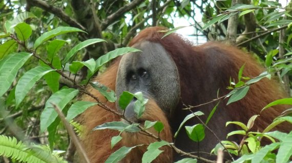Male orang-oetan Gunung Leuser © All for Nature Travel