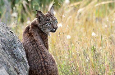 Iberische lynx dank aan W. Mourik