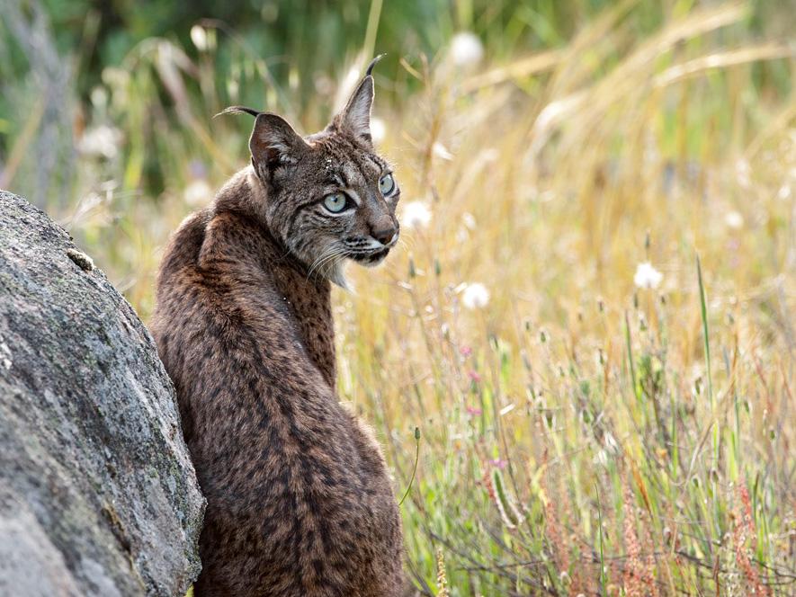 iberische lynx, natuurreis Spanje