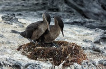 Flightless Cormorand Isabela