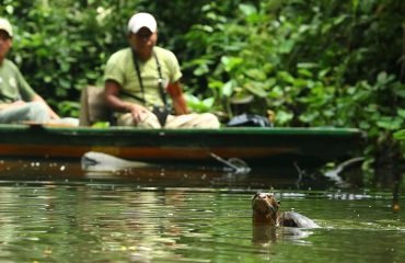 Reuzenotter Napo Wildlife Center