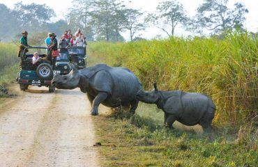 Indiase neushoorn in Kaziranga