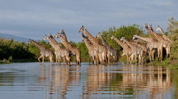 Selous giraffen oversteek
