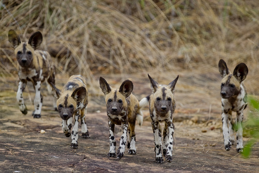 wilde hond, painted dog, selous np